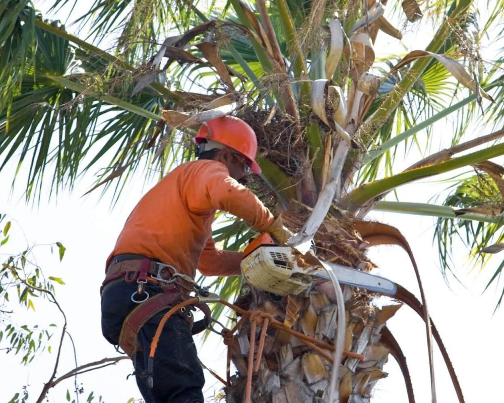 A picture of a man trimming a palm tree san diego